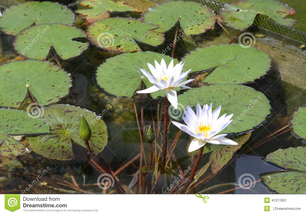 Lily Pads With Flowers Stock Image Image Of Flower Lily 41211901