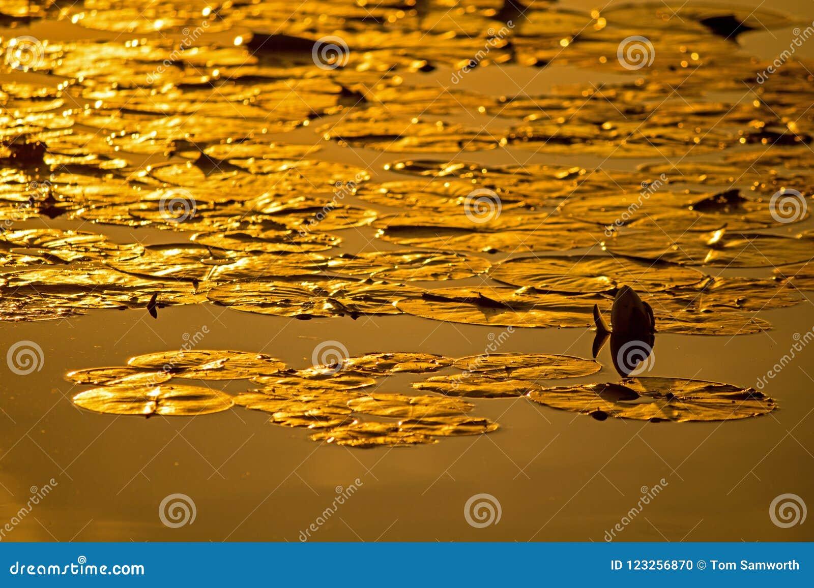 Lily Pads In The Golden-Licht des Sonnenuntergangs