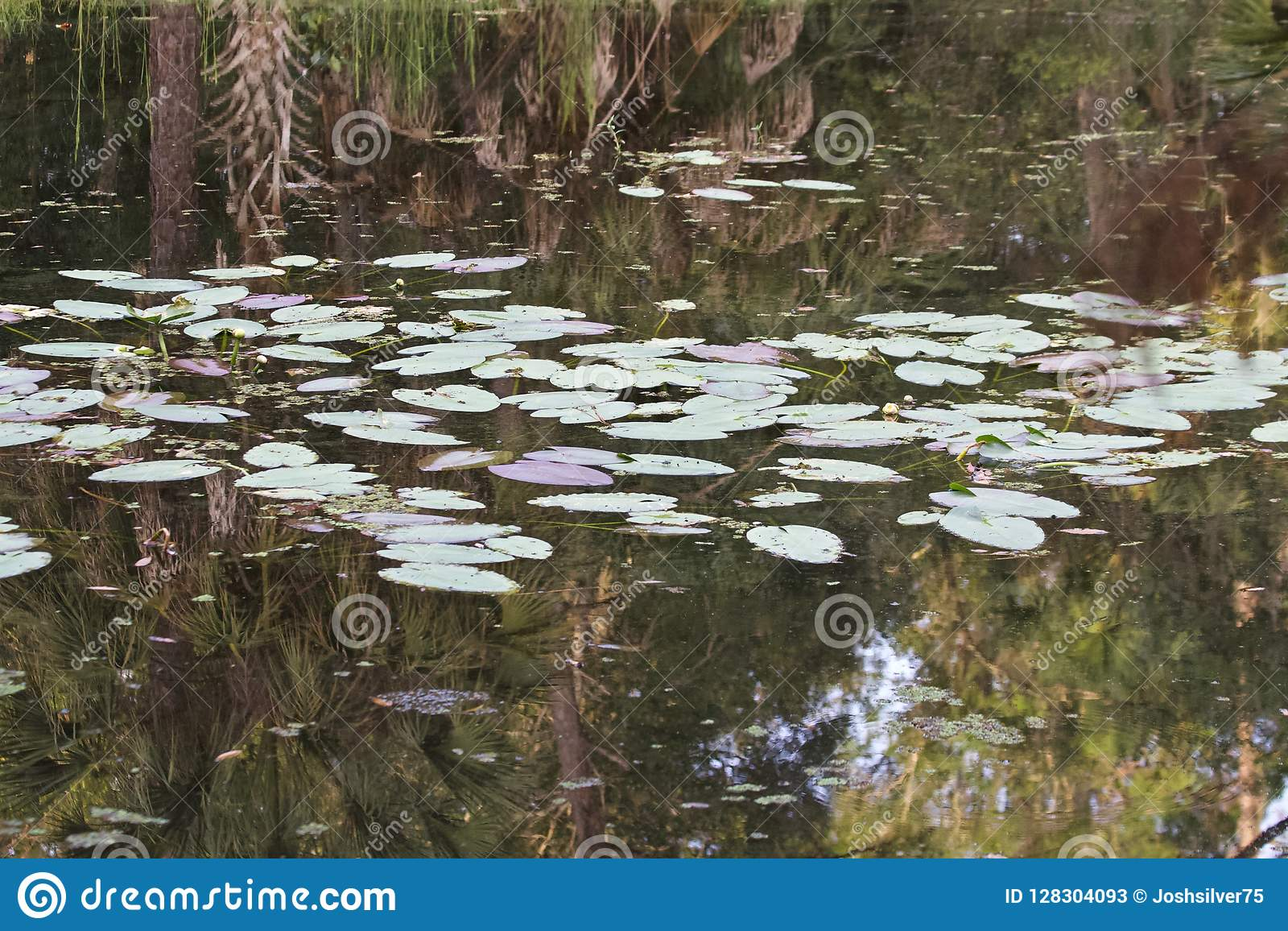 Lily pads on a pond