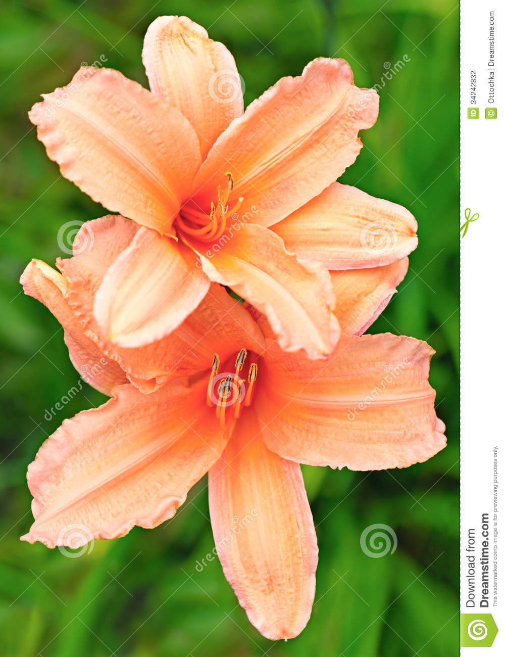 Lily peach color in nature stock photo image of bright 34242832 lily peach color in nature izmirmasajfo Images