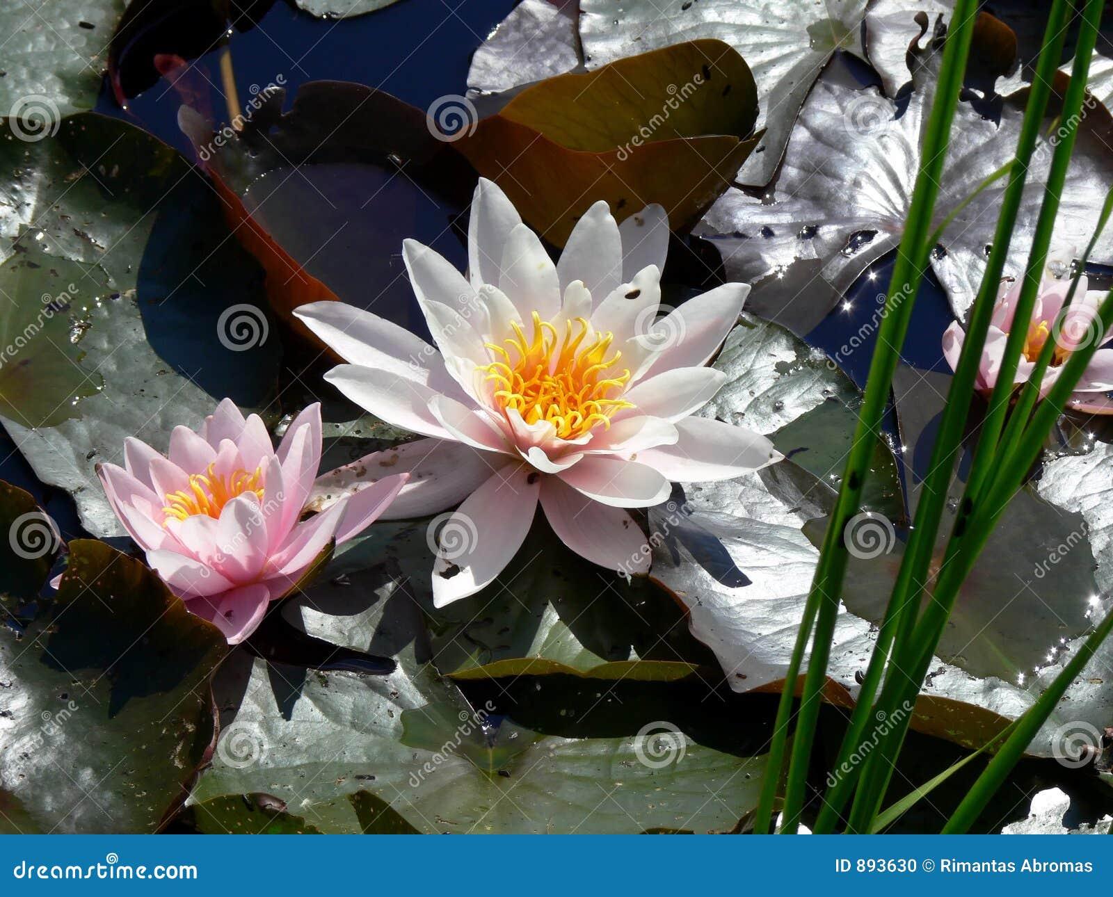 Lily podkładek wody
