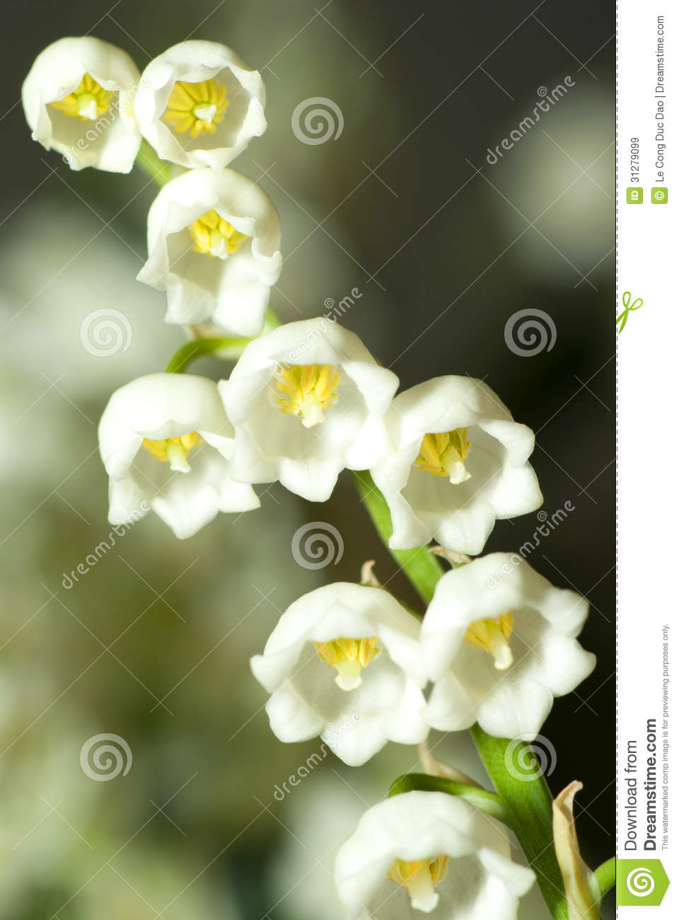 Lily of the valley stock image image of close green 31279099 download lily of the valley stock image image of close green 31279099 izmirmasajfo