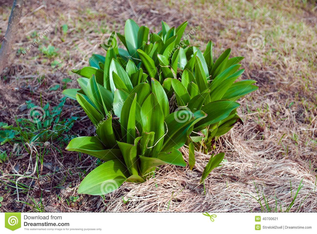 lily of the valley stock image image of green backgrounds 40700621