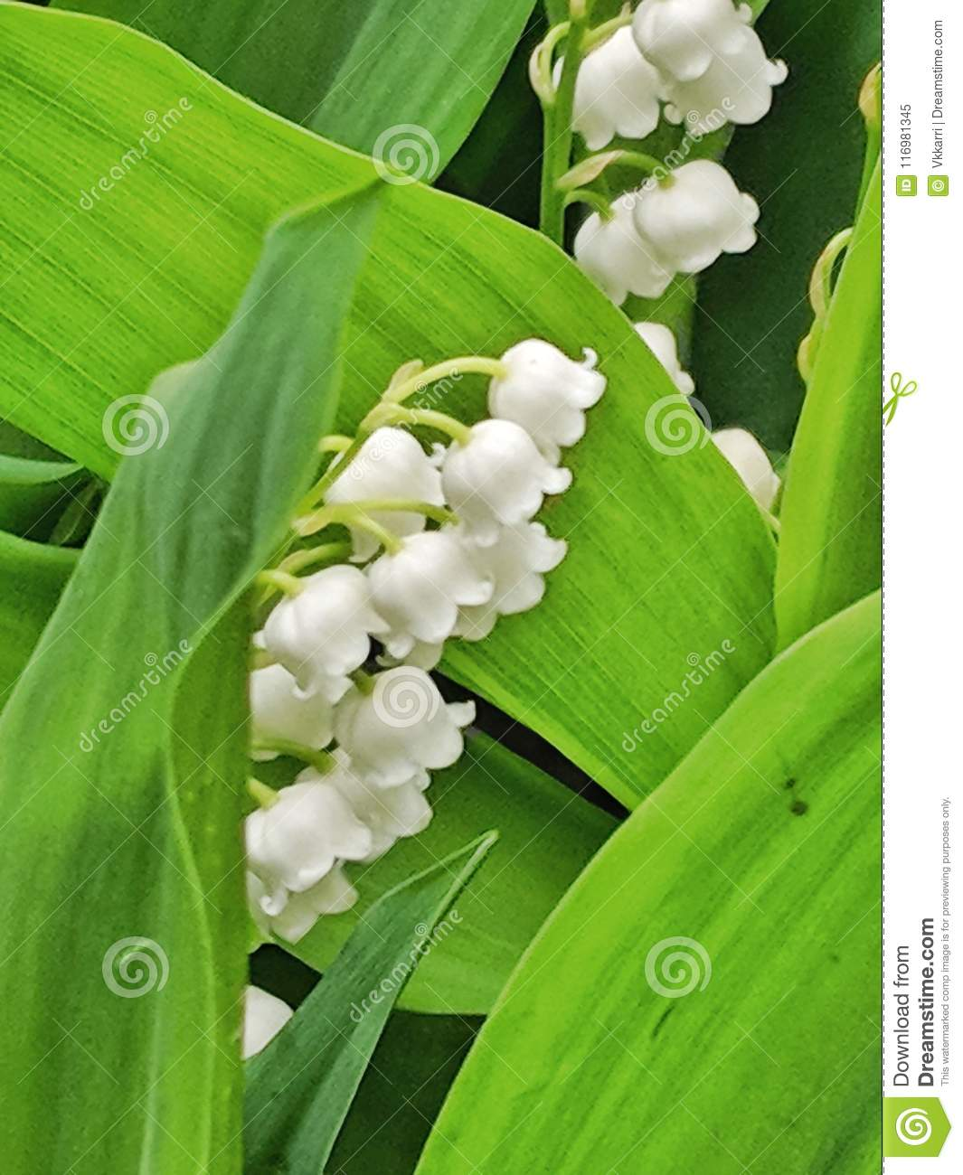 Lily Of The Valley Flowers In Bloom Stock Image Image Of Loving