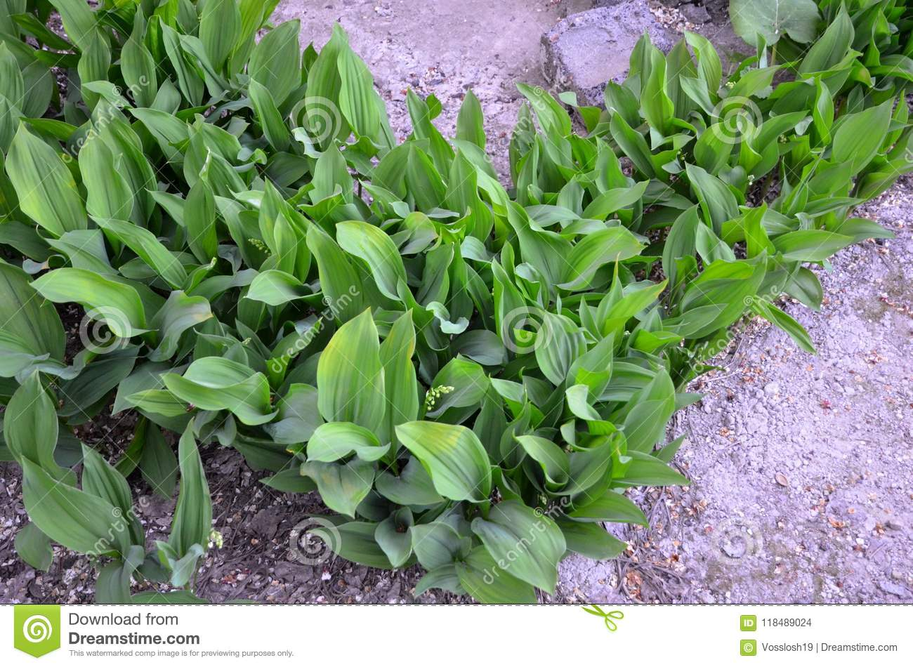 A Flower Bed With Lilies Of The Valley Form Stock Photo Image Of Vegetation Lilies 118489024