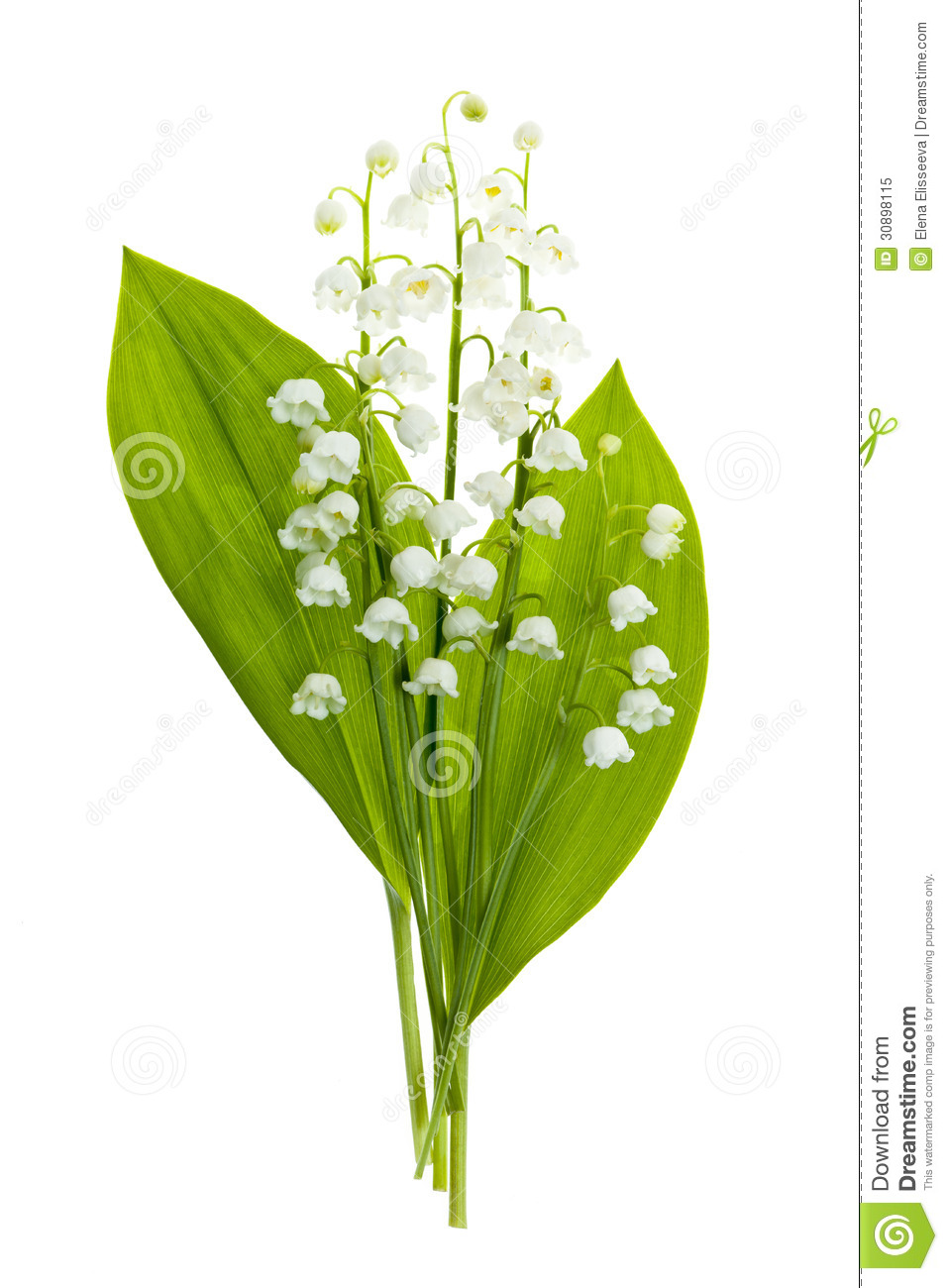 Lily of the valley flowers on white stock image image of flora lily of the valley flowers on white izmirmasajfo