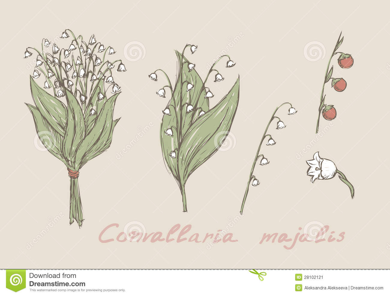 Lily Of The Valley Hand Drawn Stock Vector Illustration Of