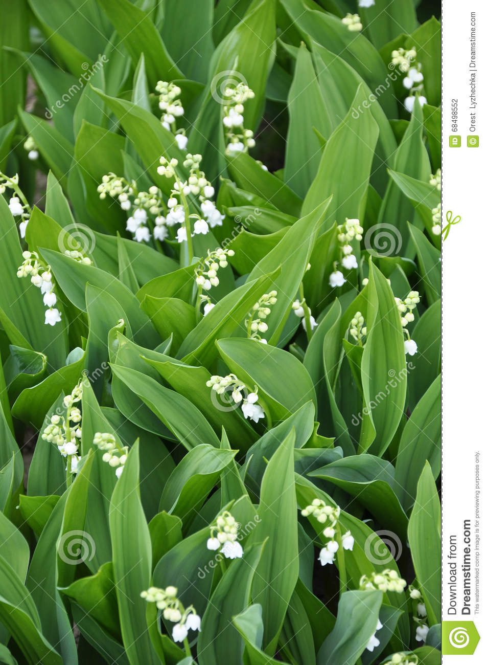 Lily Of The Valley Or May Day2 Stock Photo Image Of Flower Bells