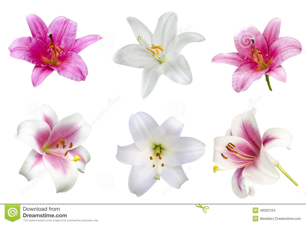 Lily varieties flowers stock photo image of copy beauty 48302164 download lily varieties flowers stock photo image of copy beauty 48302164 izmirmasajfo