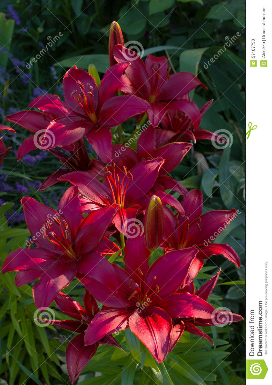 Lily varieties flowers stock photo image of copy beautiful 57107730 lily varieties flowers izmirmasajfo