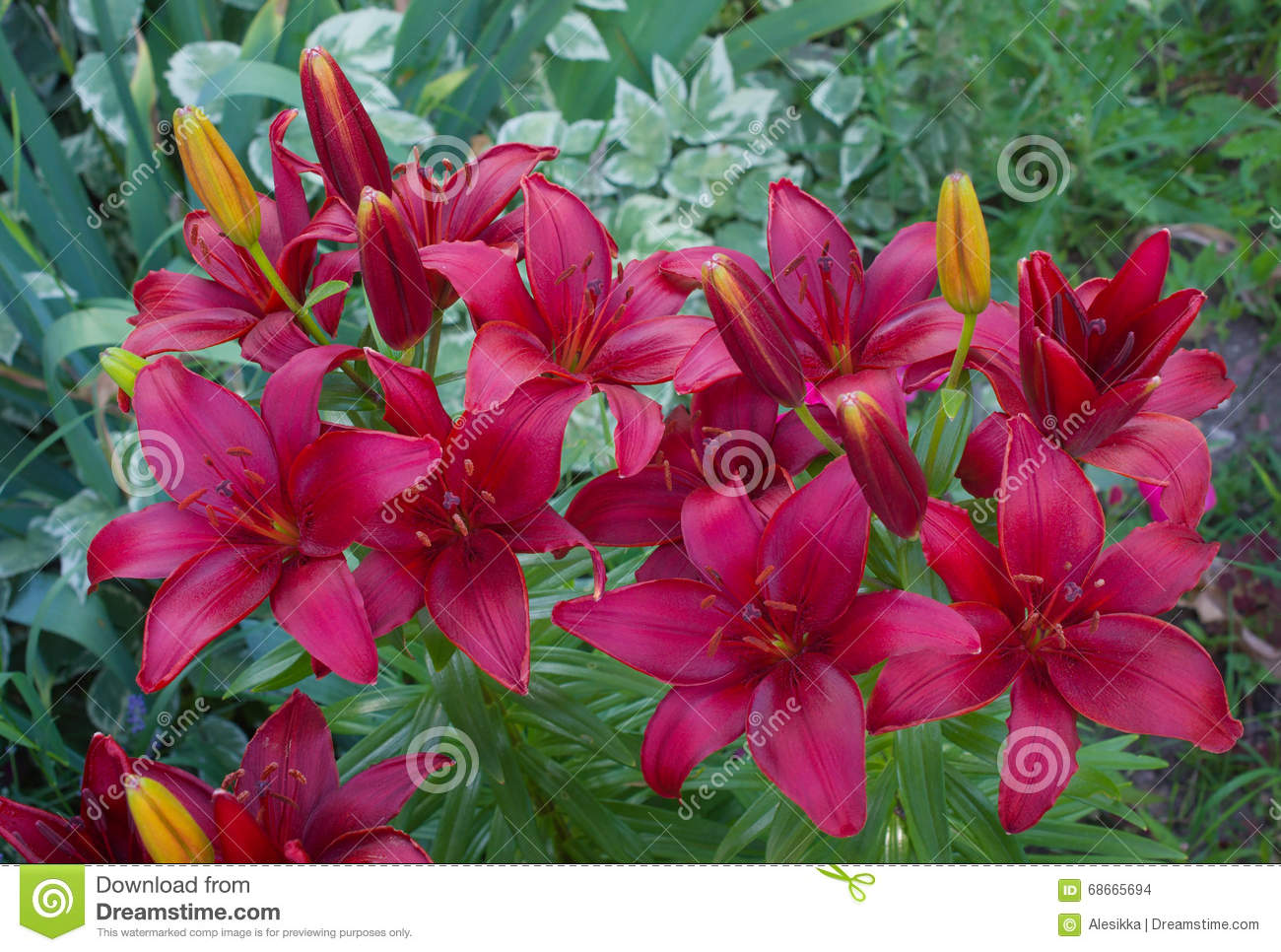 Lily varieties flowers stock photo image of fragility 68665694 lily varieties flowers izmirmasajfo