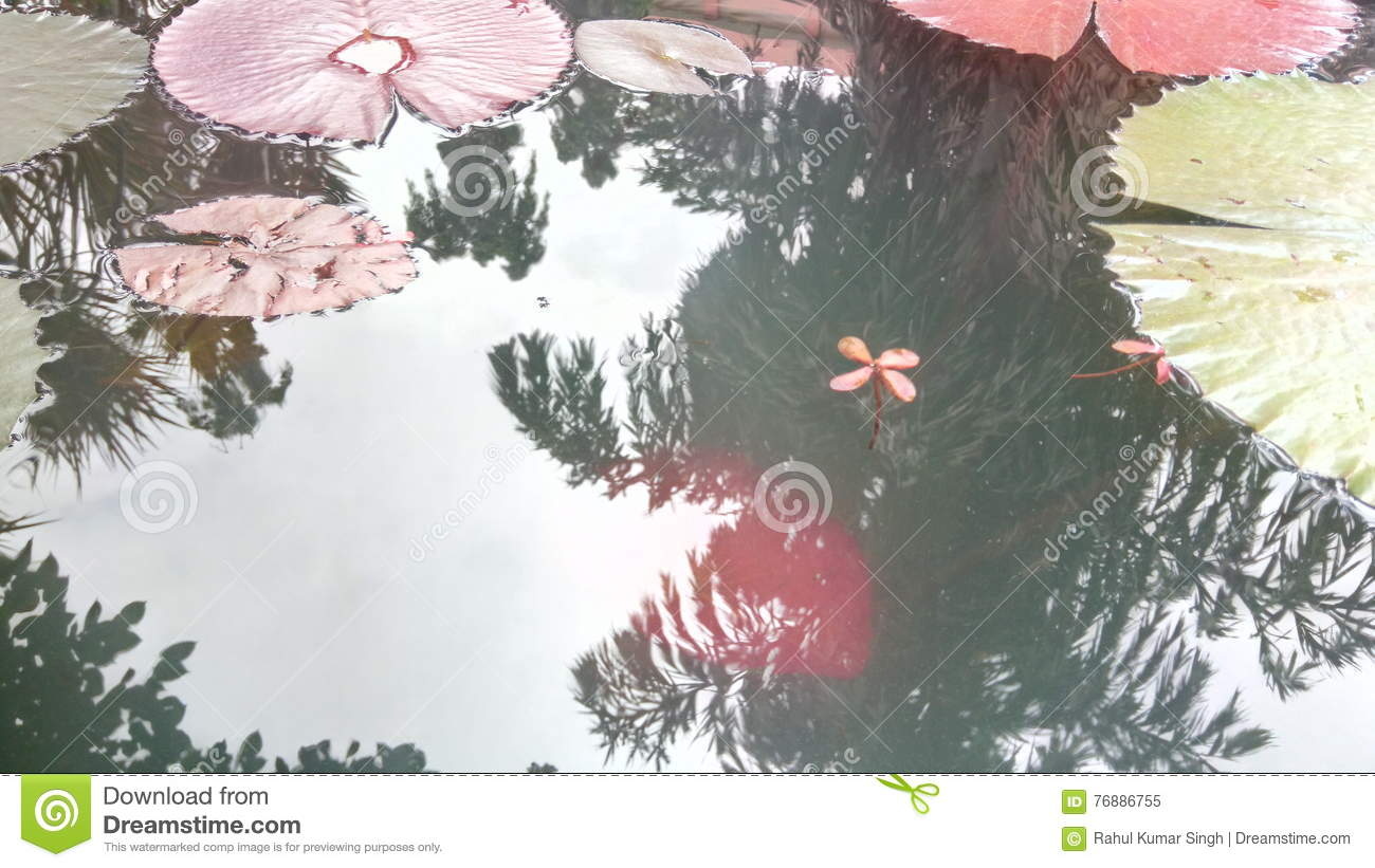 Lily in water stock image image of lilly death amongs 76886755 after death water lilly on water lilly flower amongs the leaf of lotus izmirmasajfo