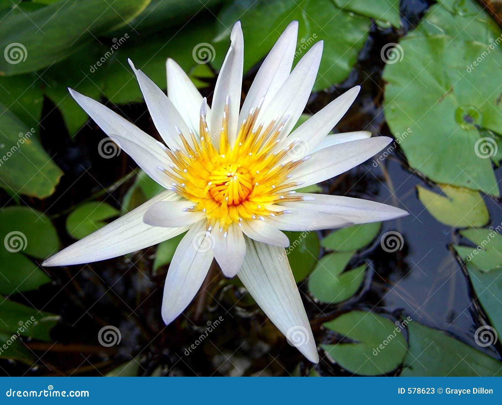 Lily white wody