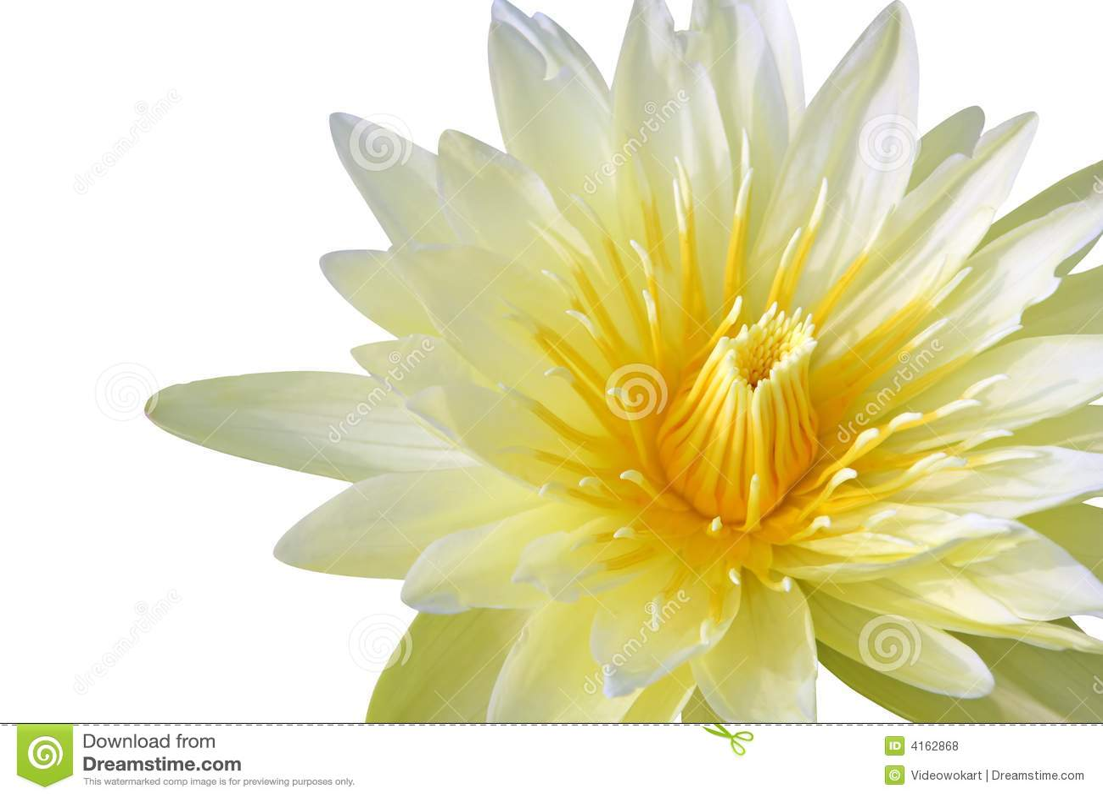 Lily woda żółty