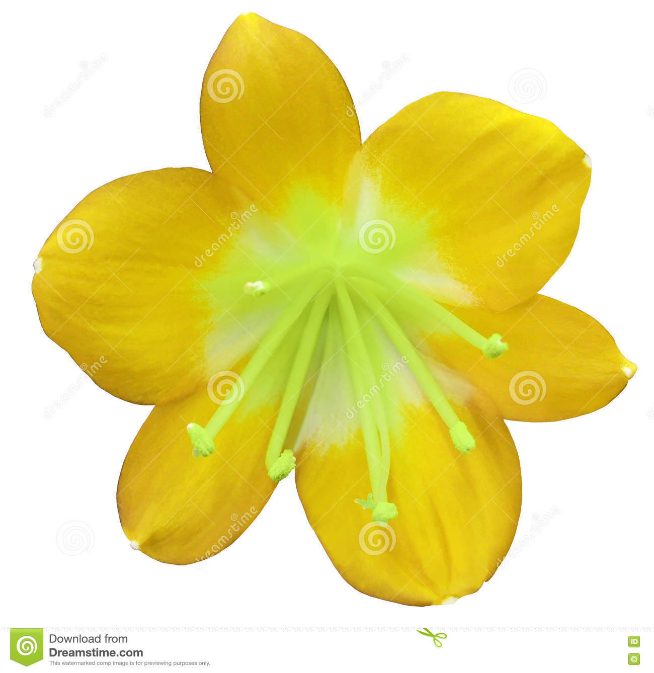 Lily Yellow Flower Isolated With Clipping Path On A White