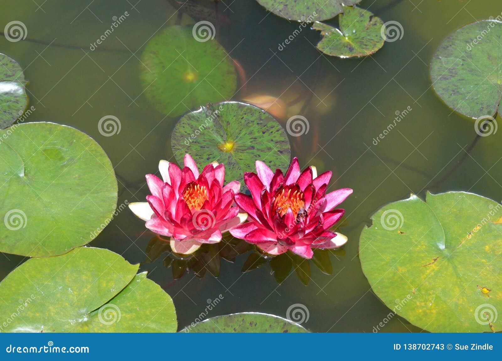Lilypad_flowers