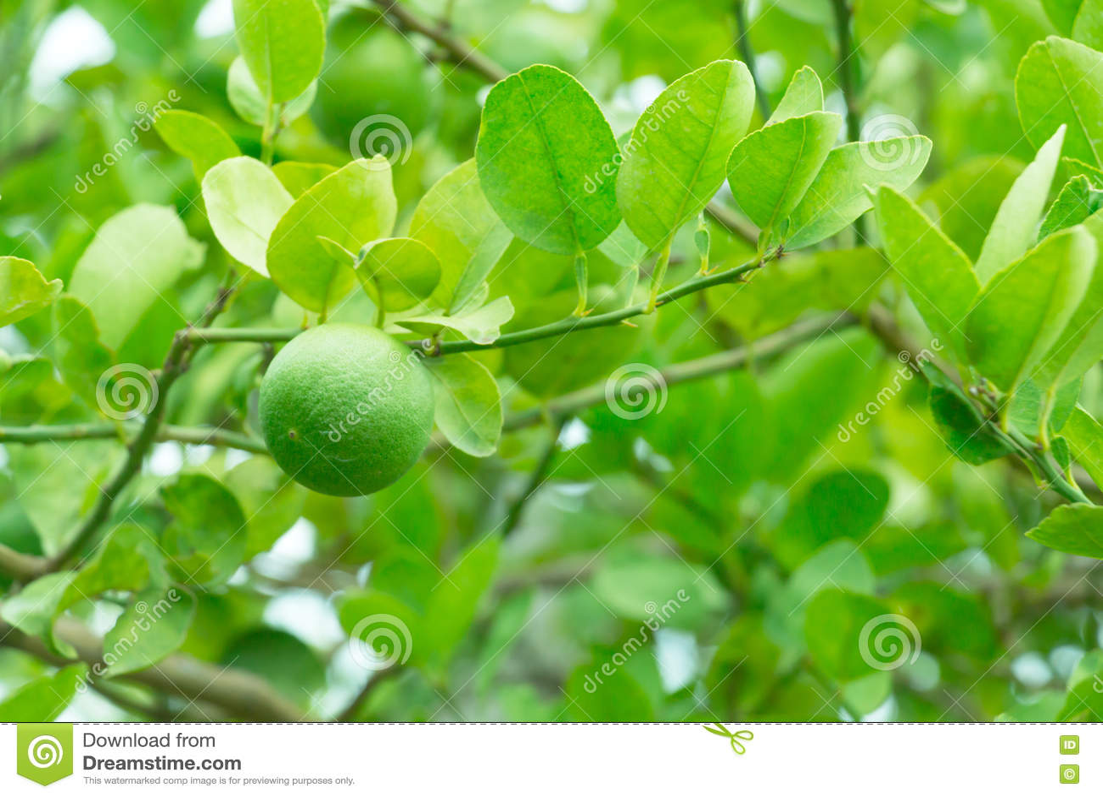 Limão verde na árvore