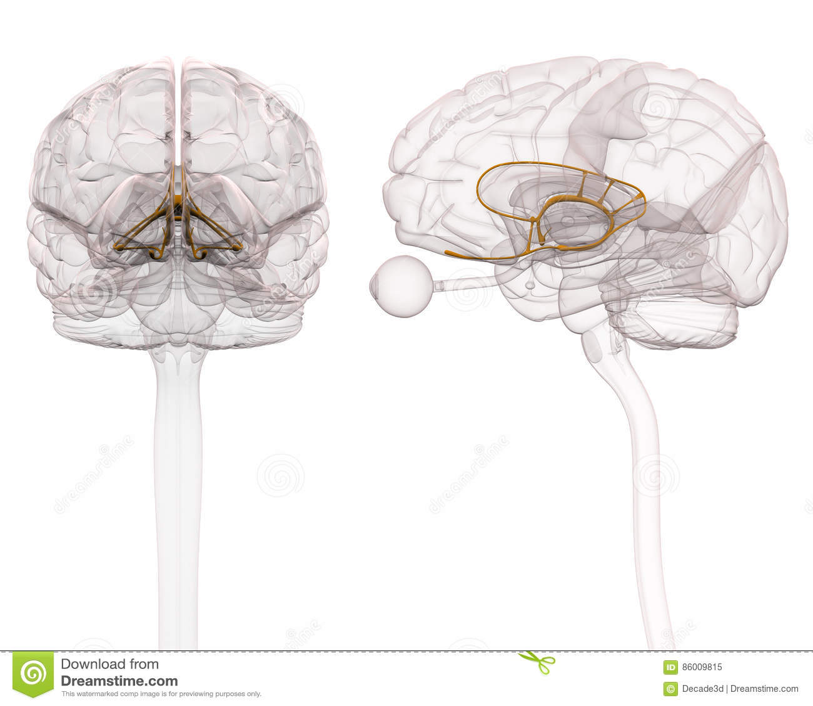 Limbic System Brain Anatomy - 3d Illustration Stock Illustration ...
