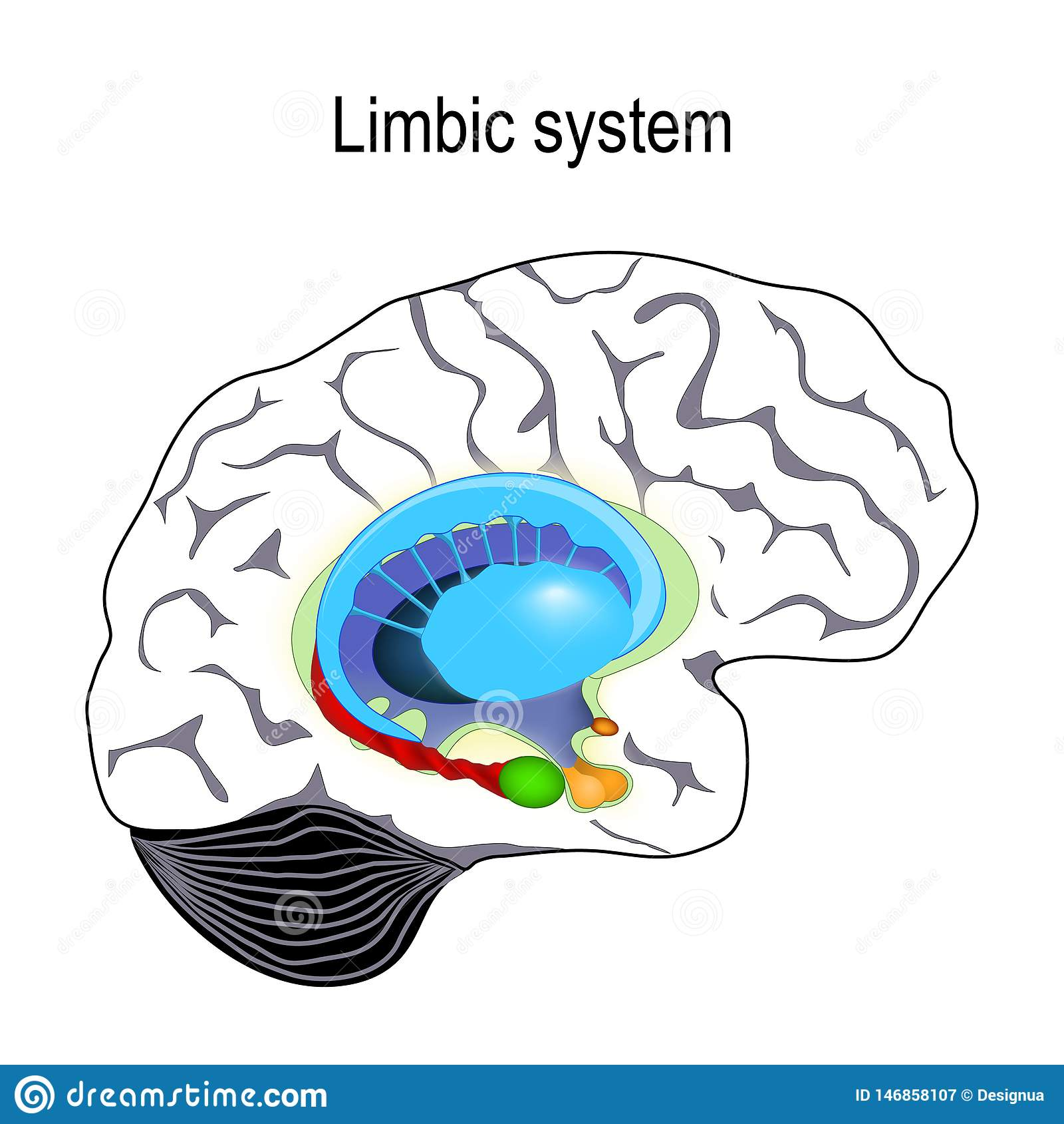 Limbic System Cross Section Of The Human Brain Stock Vector Illustration Of Head Cerebral 146858107 The mammillary bodies are a pair of small round bodies, located on the undersurface of the brain that this circuit, from amygdalae to mammillary bodies, and then on to the thalamus, is part of the. https www dreamstime com limbic system cross section human brain anatomical components limbic system mammillary body basal ganglia pituitary image146858107