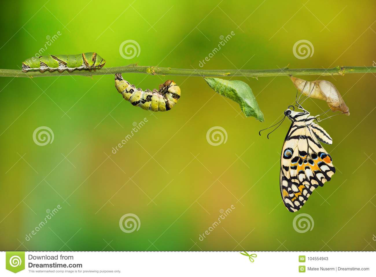Lime butterfly Papilio demoleus life cycle