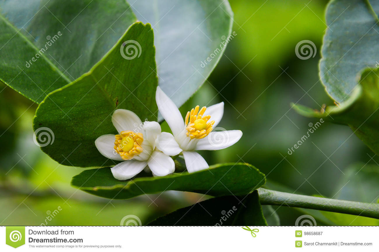 Lime flower blooming on Lime tree.