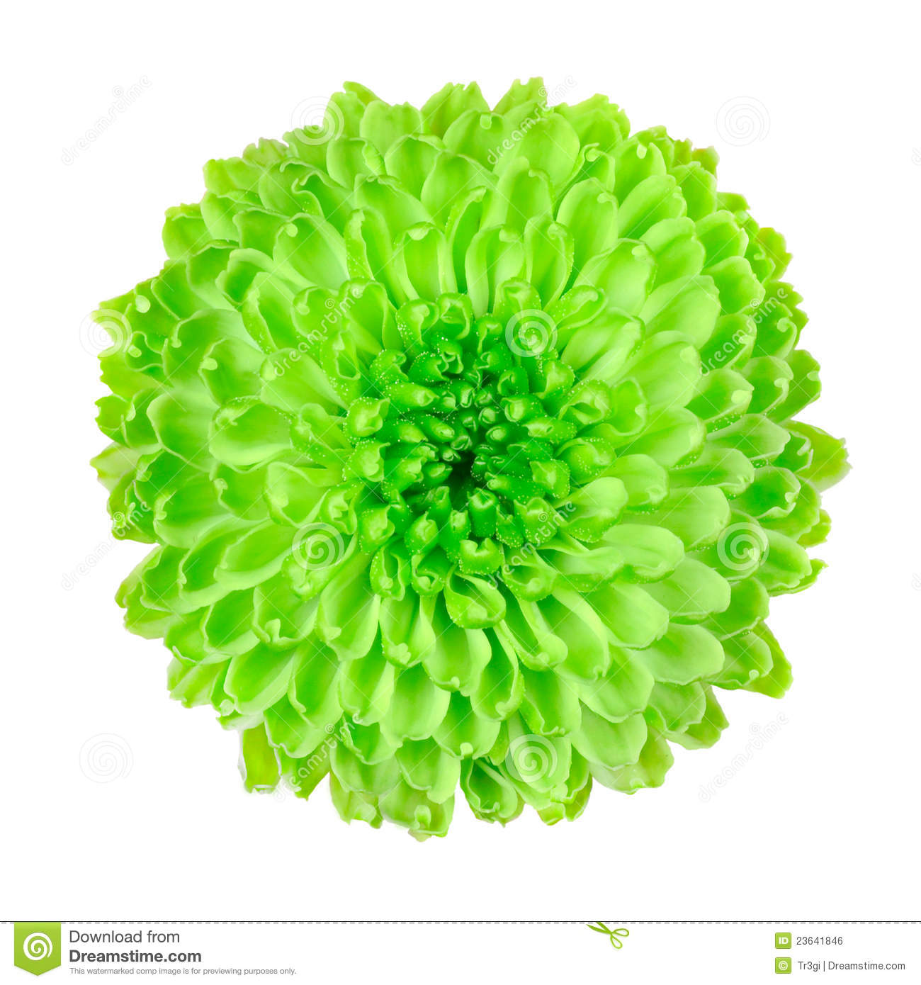 Lime Green Pom Pom Flower Isolated White Royalty Free Stock Image Image
