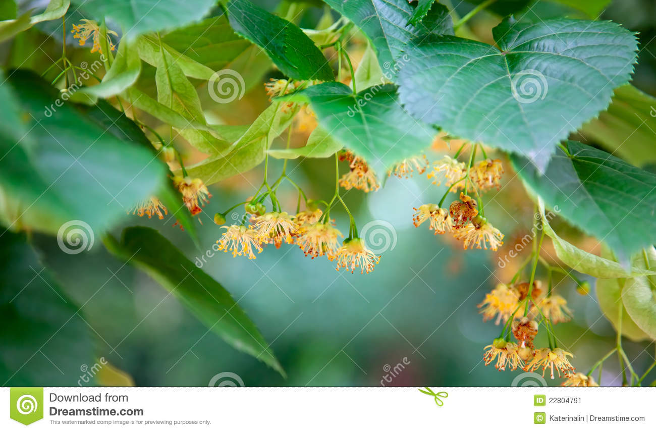 Lime-tree blossoms