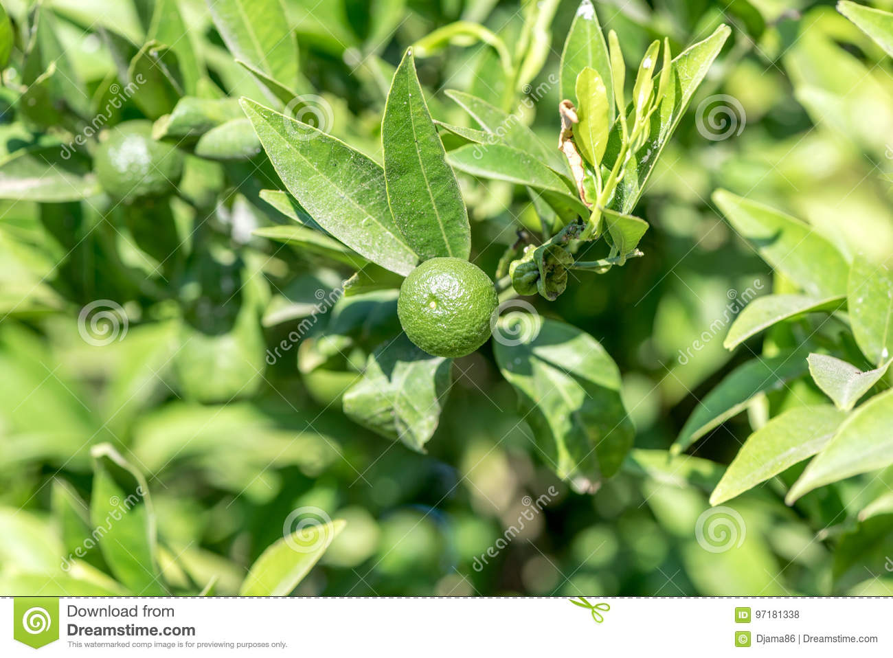 Lime tree with fruits