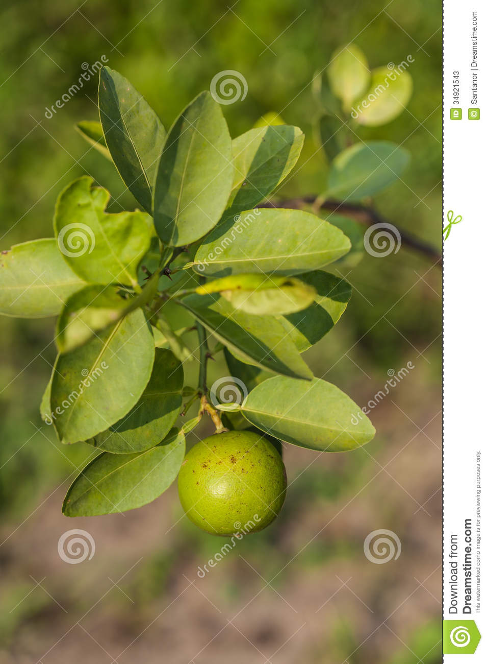 Lime on the tree