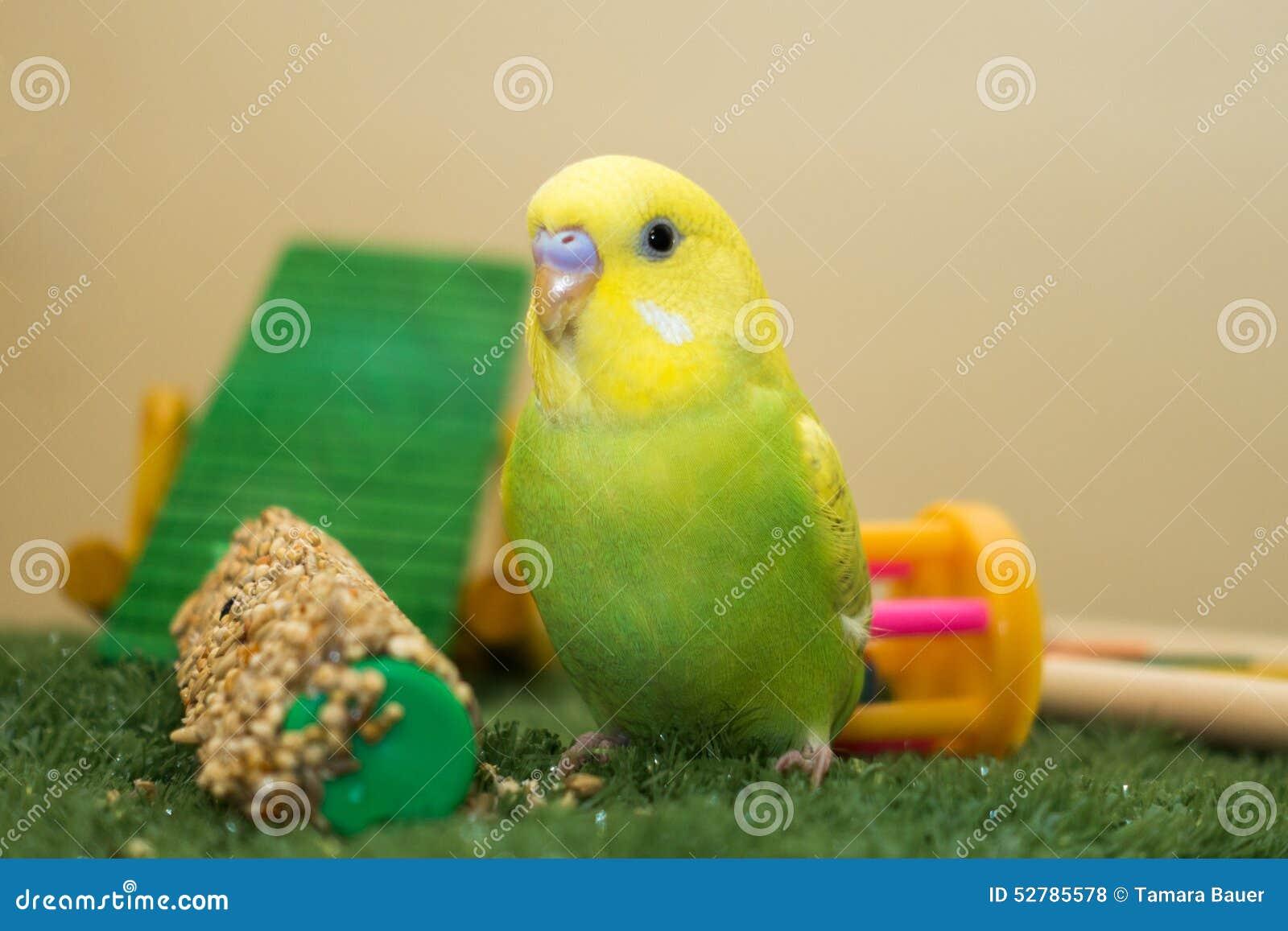 Limefrukt och gulingbudgie