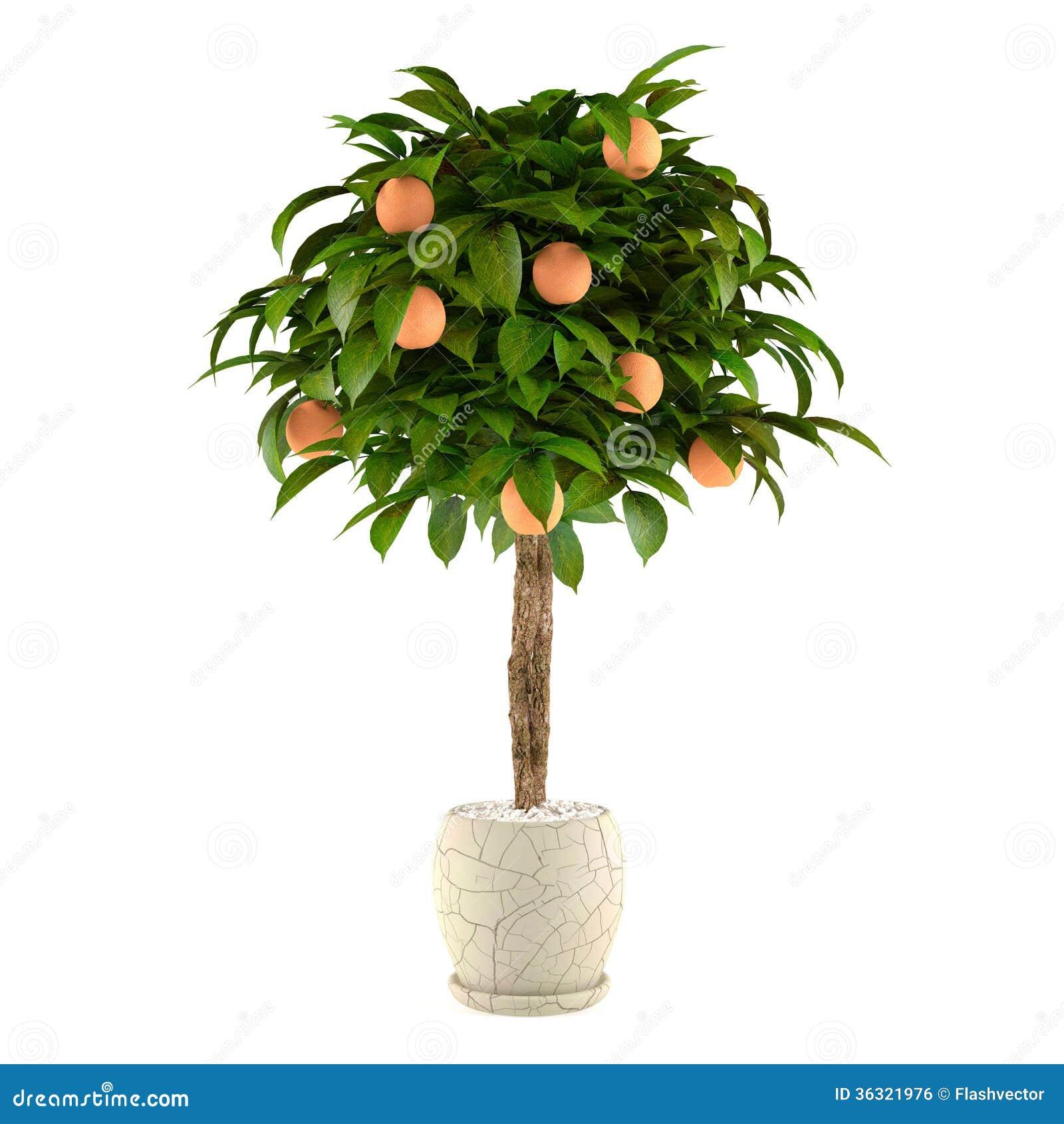 limettier d 39 agrume dans le pot pot de fleurs image libre de droits image 36321976. Black Bedroom Furniture Sets. Home Design Ideas