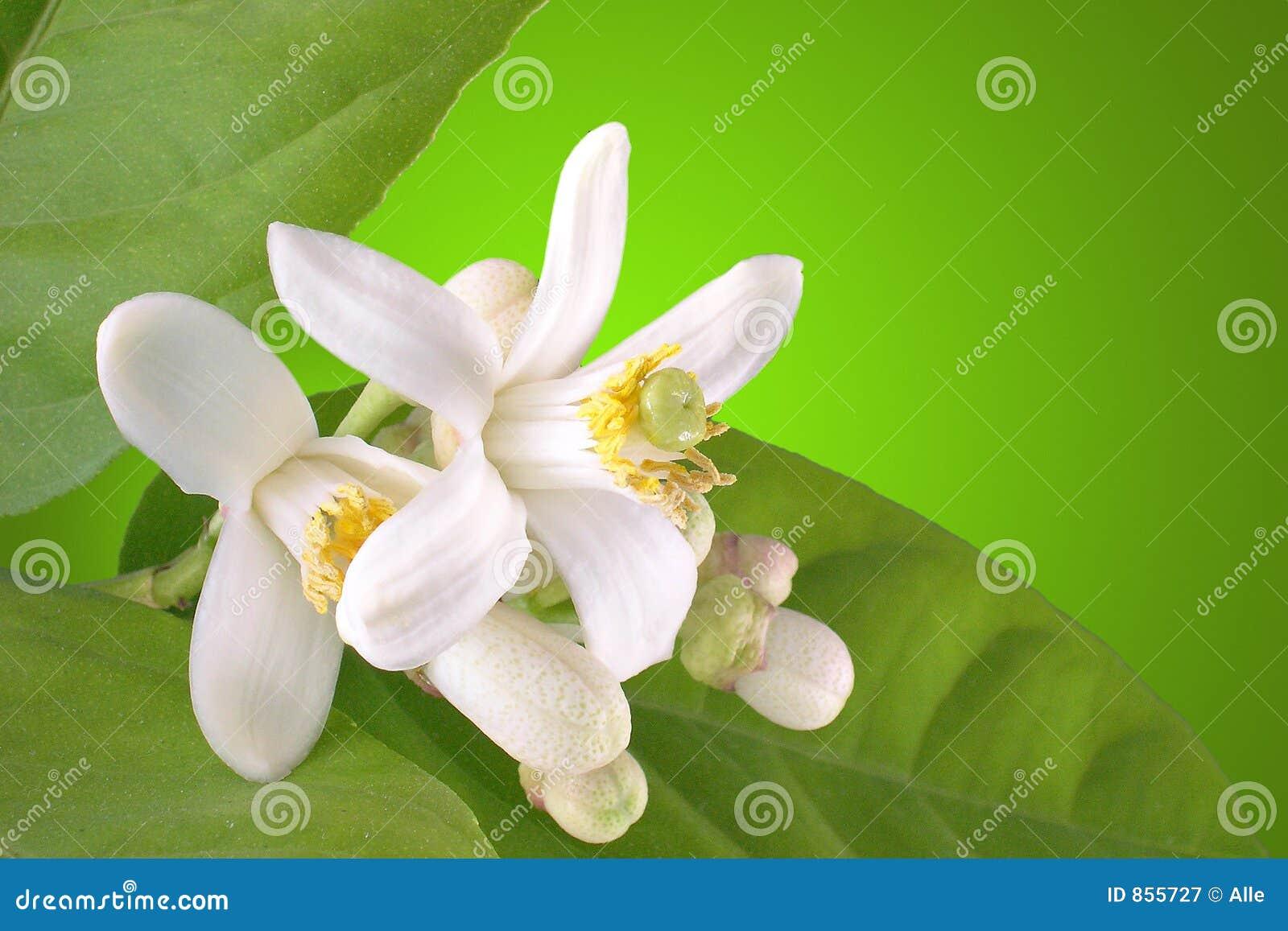 Limone di fioritura