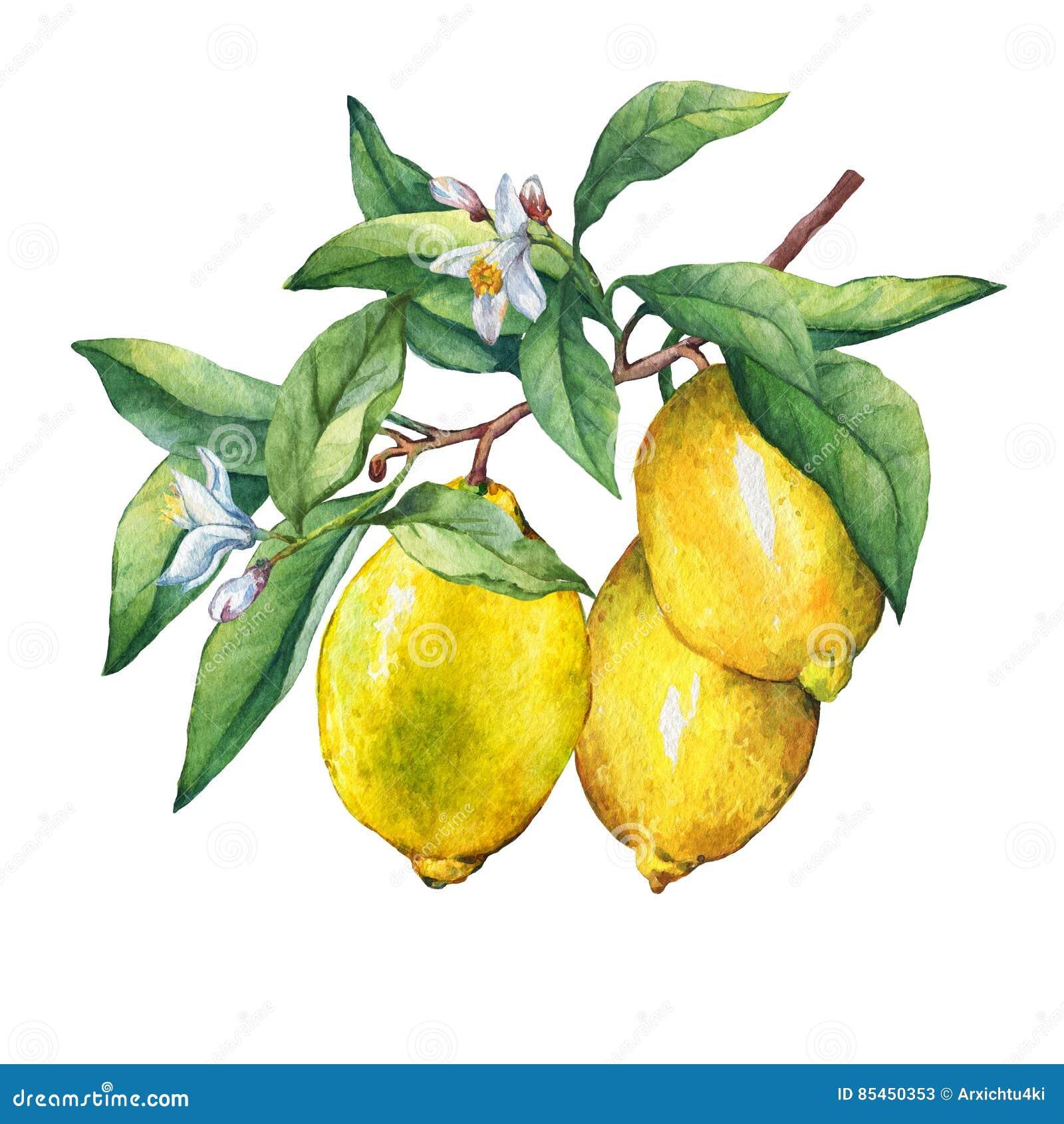 Limone fresco degli agrumi su un ramo con i frutti, le foglie verdi, i germogli ed i fiori
