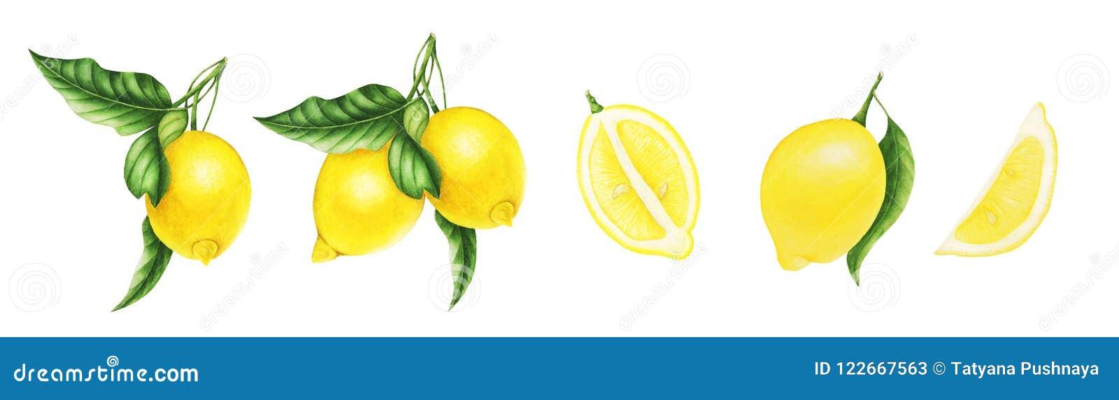 Limones Y Hojas Y Mitad Del Limón, Pintura De La Acuarela Stock de ...