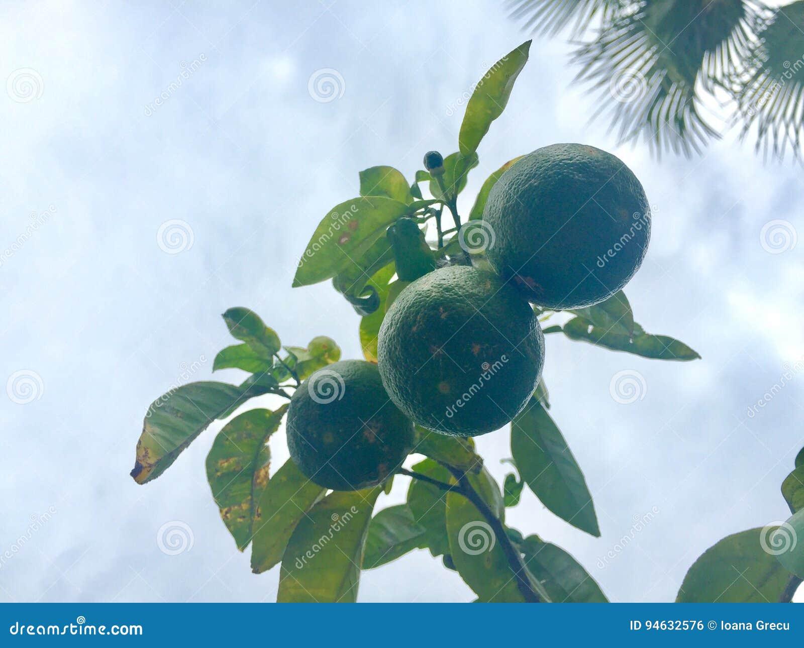Limoni sull albero