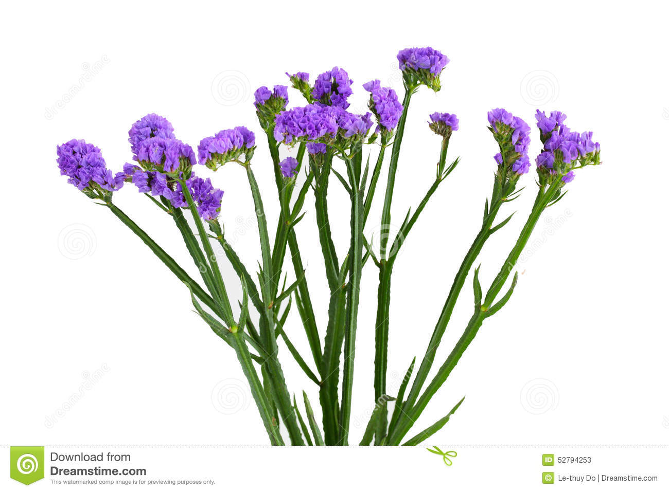 Limonium sinuatum Statice Salem flower isolated on white background.