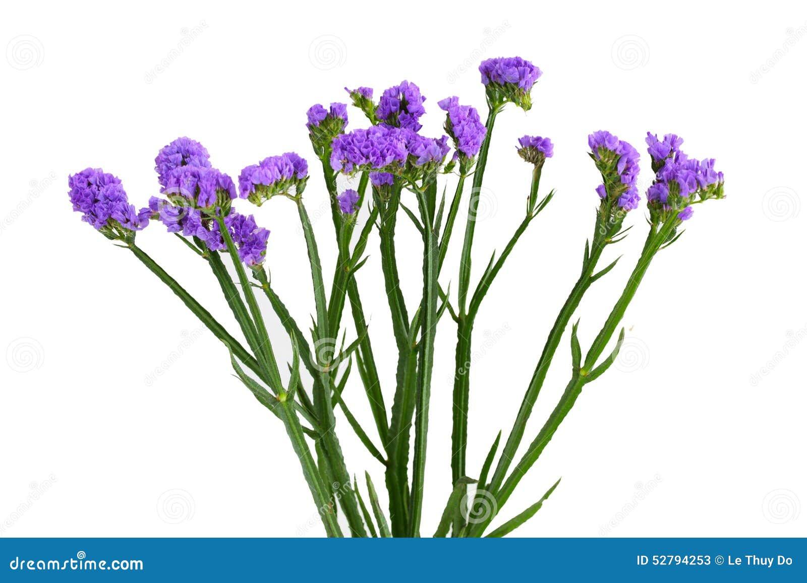 Limonium sinuatum Statice Salem flower isolated on white background.