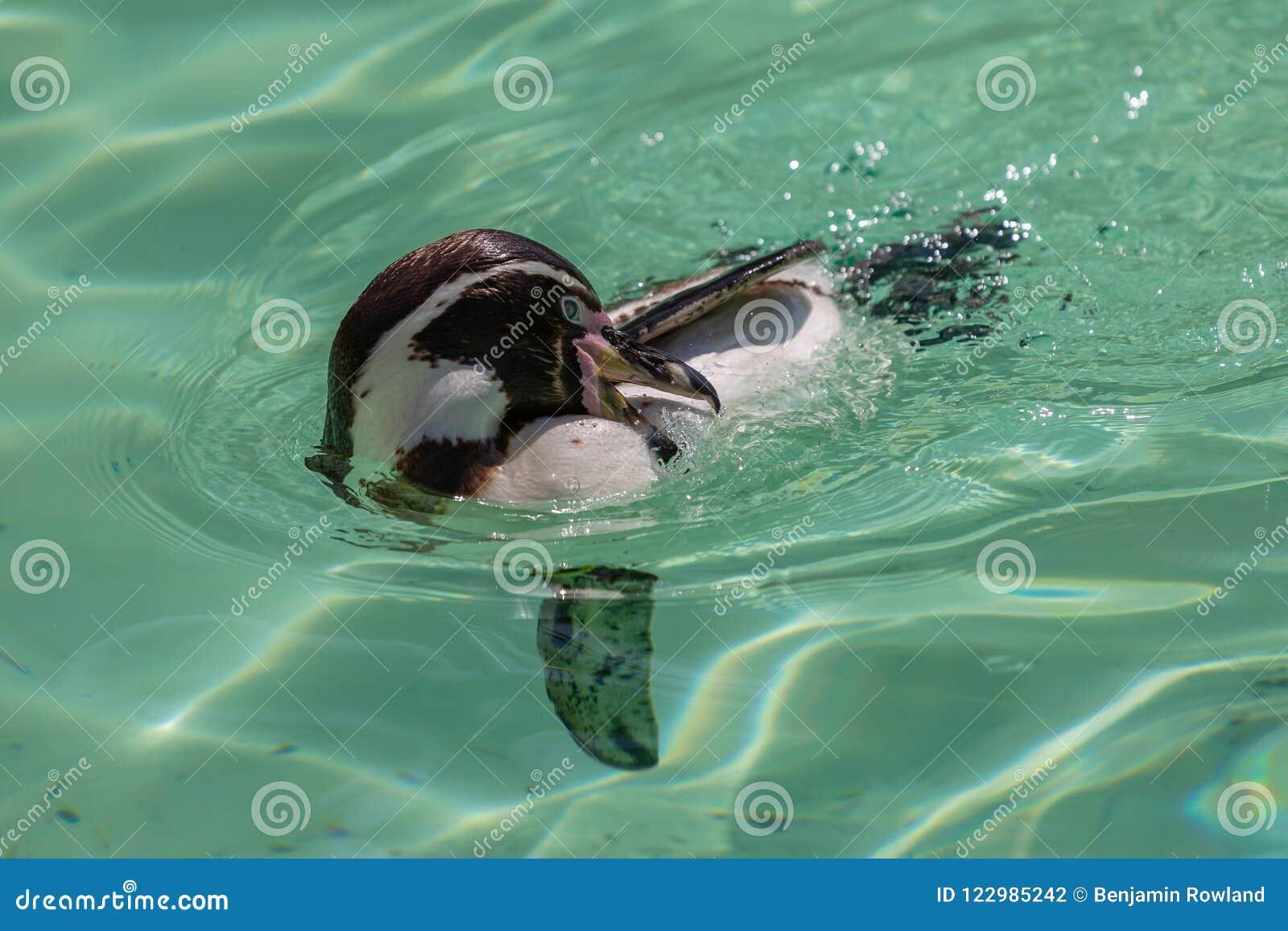 Limpeza do pinguim de Humbolt ao nadar
