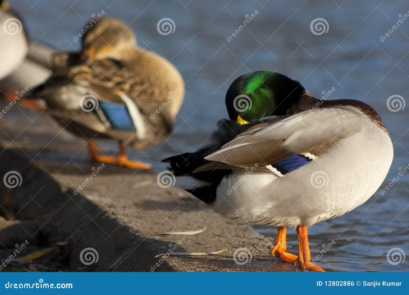 Limpeza ela mesma do pato