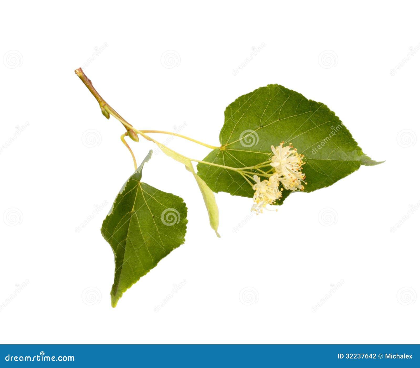 Lindeblumen
