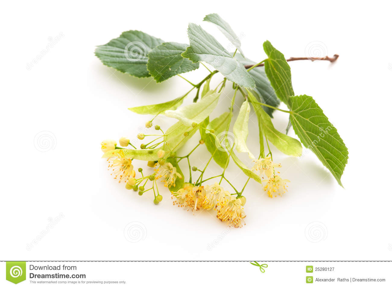 Linden Blossom Royalty Free Stock graphy Image