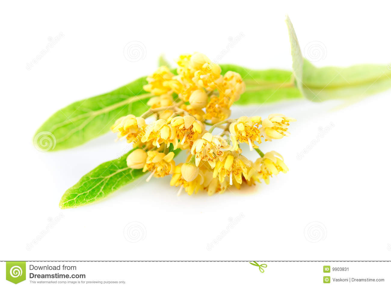 Linden Blossoms Stock Image Image