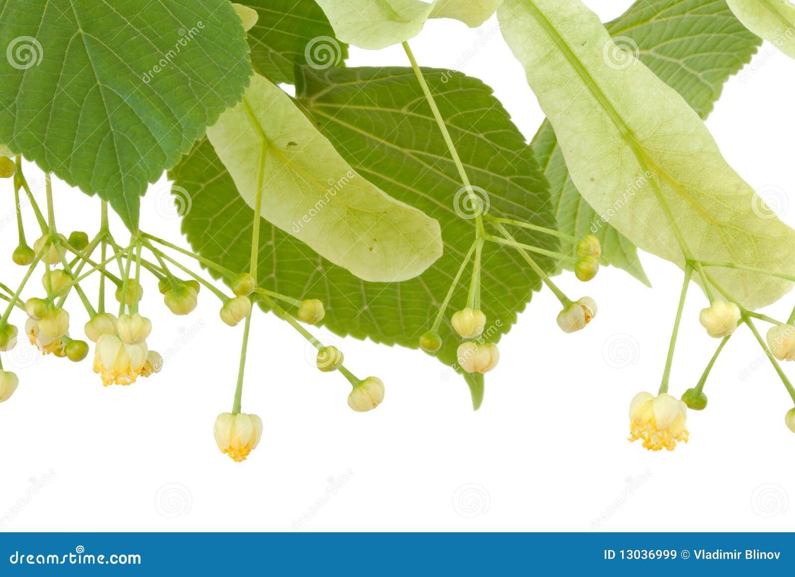 Linden Flower Royalty Free Stock Image