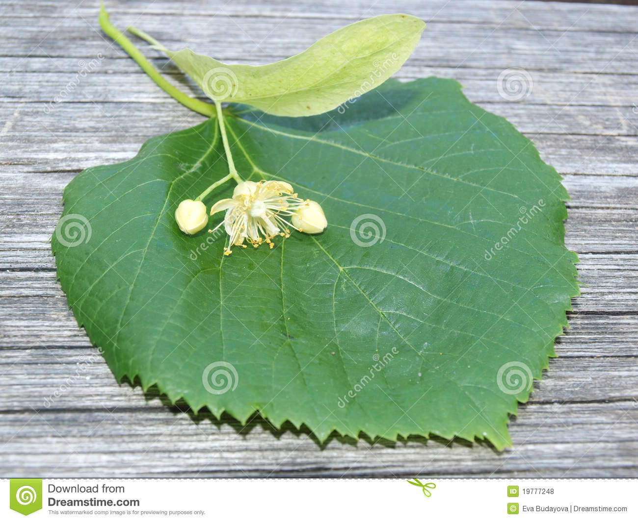 Linden Flower Royalty Free Stock s Image