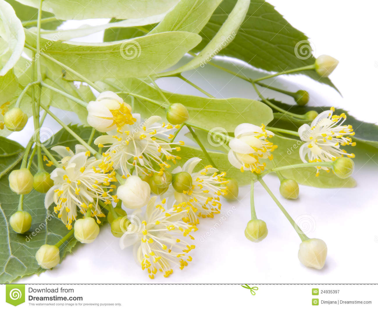 Linden Flower Royalty Free Stock graphy Image
