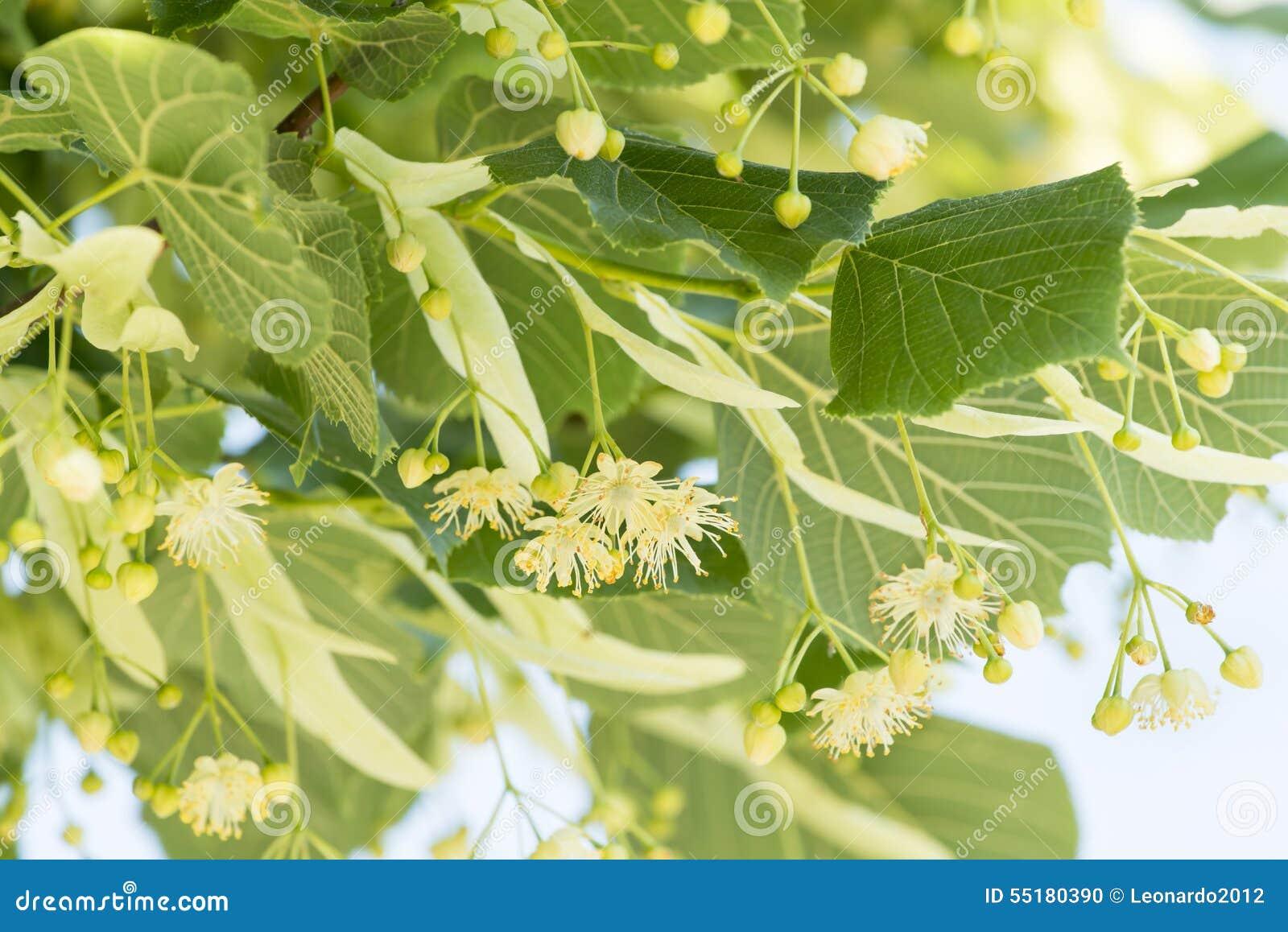 Linden Flower The Tree Alternative Natural Medicine Stock Image