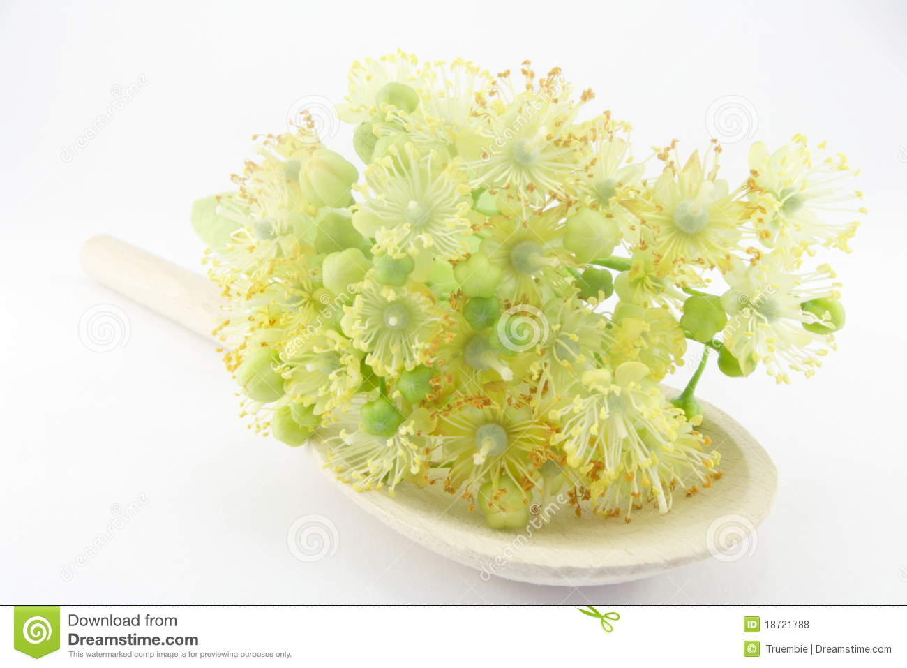 Linden Flowers Royalty Free Stock s Image