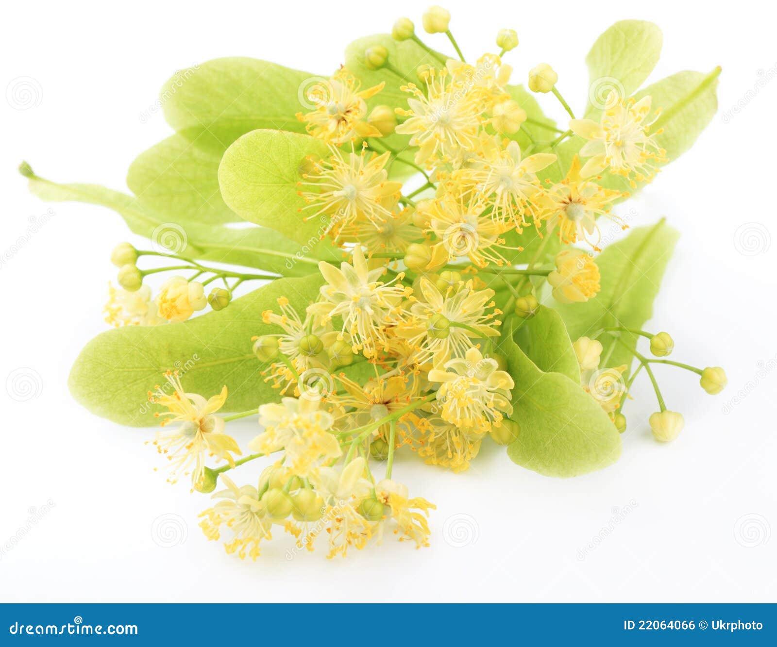 Linden Flowers Royalty Free Stock Image Image