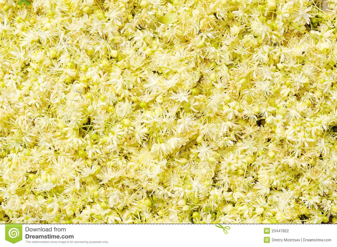 Linden Flowers Stock graphy Image