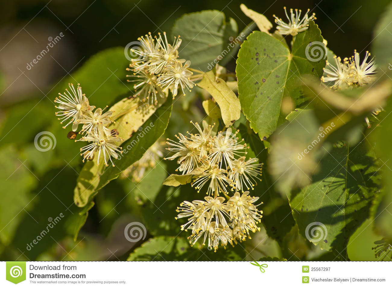 Linden Flowers Royalty Free Stock graphy Image